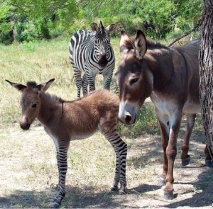 Multidisciplinary cross-fertilzation: Ippo the Zonkey with his proud parents
